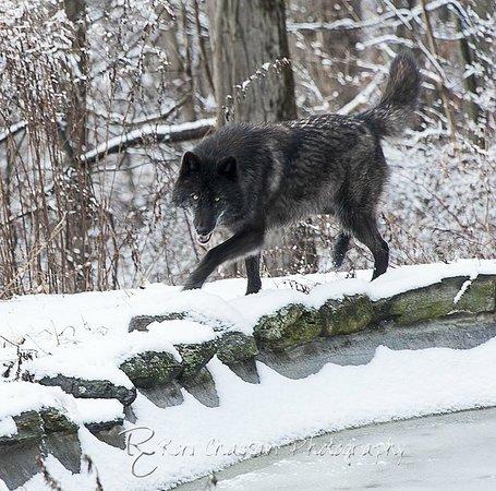 Wolf Conservation Center: Zephyr