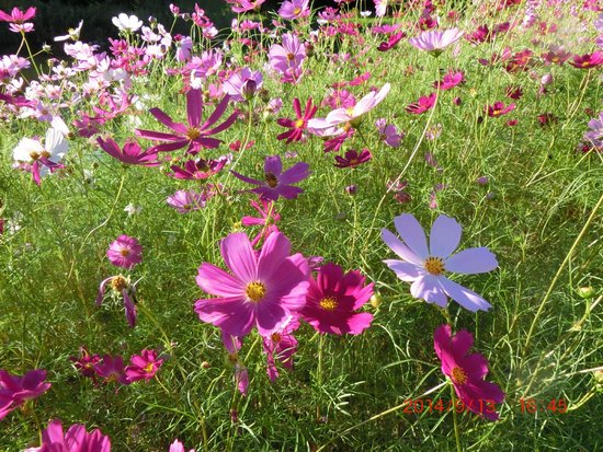 Oasis Park: 隣接する自然発見館のコスモス