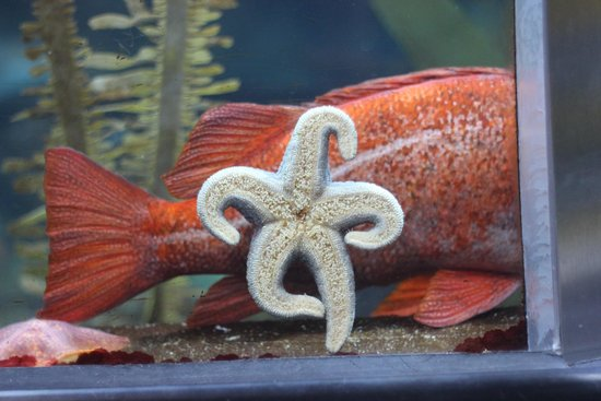 Aquarium of the Bay: Dancing Starfish