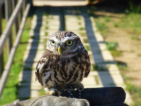 Malta Falconry Centre: Little Owl