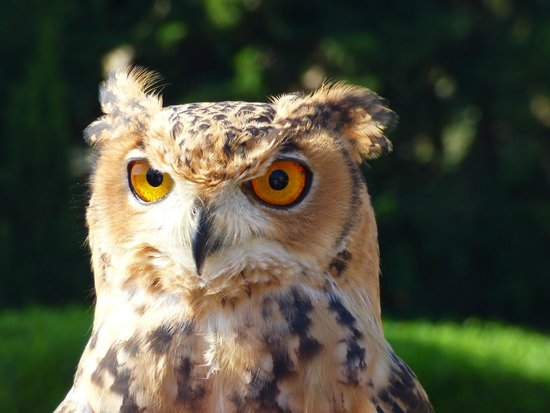 Malta Falconry Centre: Brown Owl
