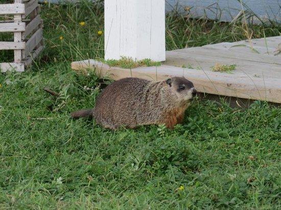Riotel Matane : resident marmotte (next door neighbour)