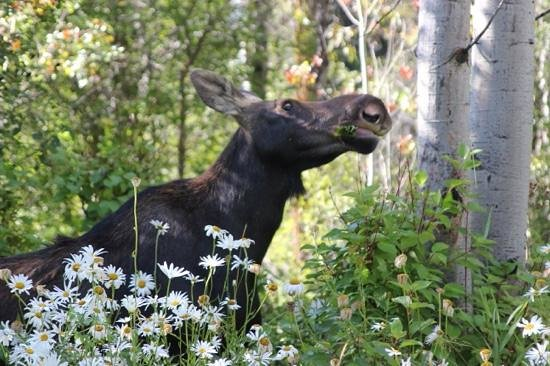 Wildflower Lodge at Jackson Hole : Look who came visiting at Breakfast