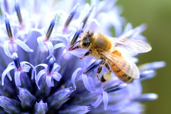 Marks Hall Gardens and Arboretum: Honey Bee in Walled Garden