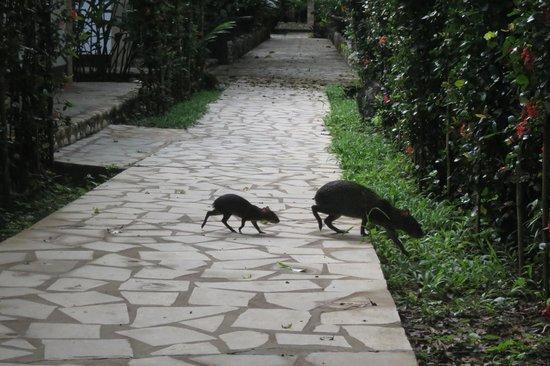 Chan-Kah Resort Village: Agoutis in the gardens