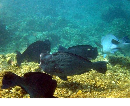 Bali Spark Resort: Napoleons beim Coral Garden