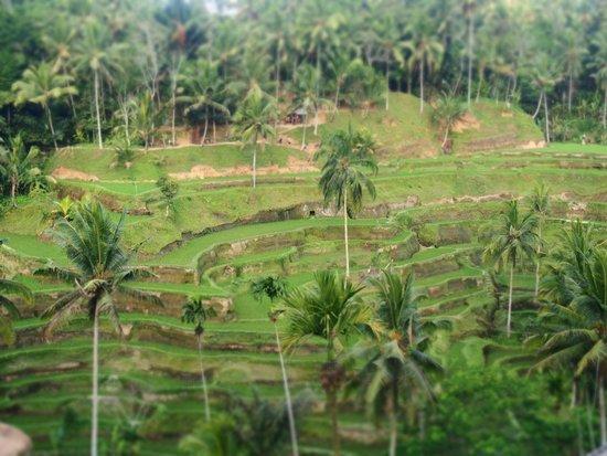 Bali Success Day Tours: Rice terraces