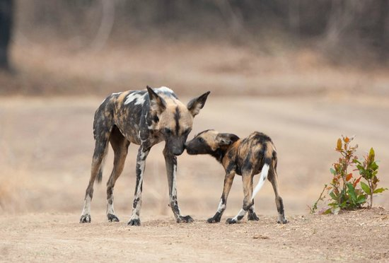 Flatdogs Camp : A rare sight - Wild dogs