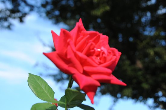 Aramaki rose garden : 園内のバラ