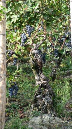 Vezza d'Alba, Itália: Этому виноградному дереву около 100 лет