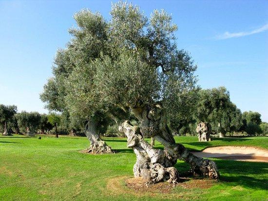 Masseria Torre Maizza: Olive trees