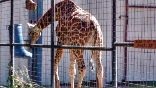 Hillcrest Park Zoo : Giraffe