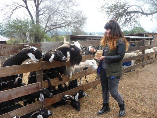 Villa General Belgrano, Argentina: Los chivos son geniales !