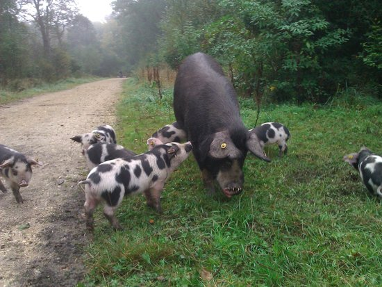 The Willows: Pigs in Pannage