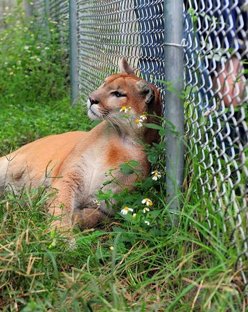 Bear Creek Feline Center: Inside the cage with a Fla Panther