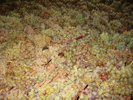 Montespertoli, Italia: More green grapes