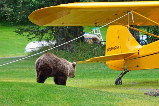 Alaska Homestead Lodge: Curious Cub