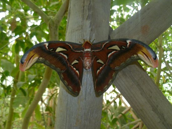 The North Somerset Butterfly House: Largest moth in the world