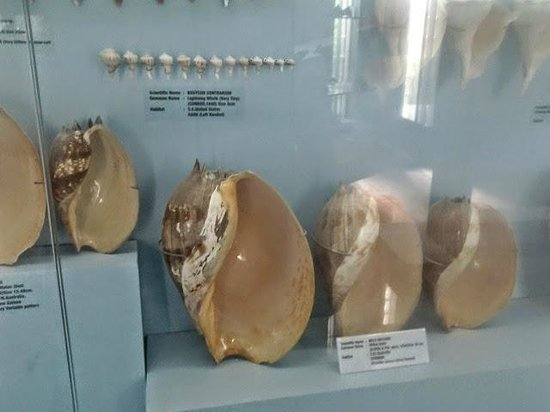 Shell Exhibition Mahabalipuram : Shell collection picture of india seashell museum