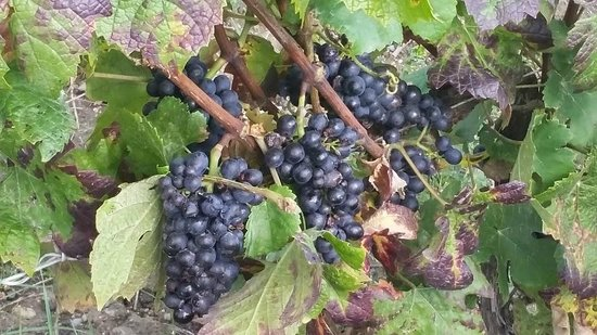 La Vigne du Roy Champagne Day Tours: Grapes on the vine
