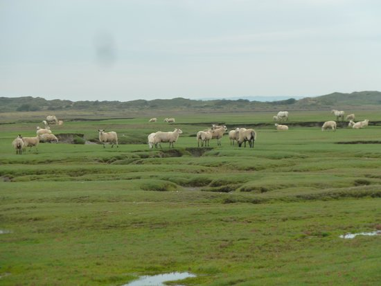 Tallizmand Guest House : Sheep graze on the tidal marshes and give the lamb a unique flavour