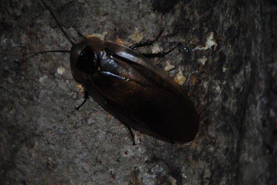 Amazon King Lodge: cockroach