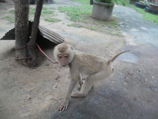 Samui Monkey Theatre: Обезьяна при входе. Какает нам под ноги. Уже надо было насторожиться
