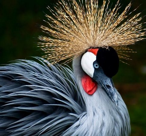 Gate City, VA: East African Crowned Crane