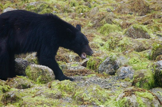 Browning Pass Charters: several bears spotted on this trip