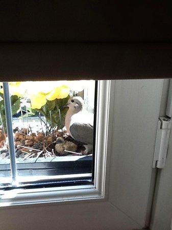 Hotel Bel Air: Mamãe pomba e seu filhote na janela do quarto.