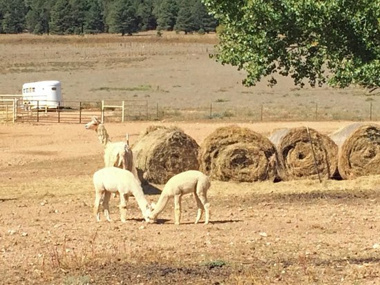 Victory Ranch: Alpacas at the Ranch