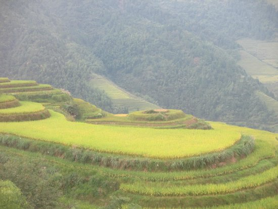 Wisdom Inn: Picture of rice paddies ready for harvest from nearby Cable car tram