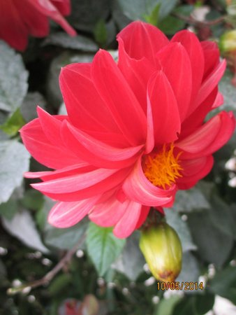 Meghavan Holiday Resort: Dahlia in the hotel garden