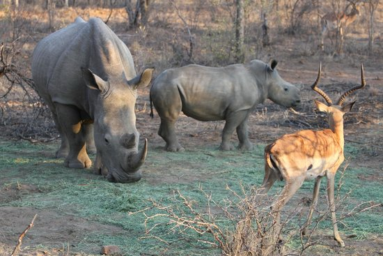 Mokolodi Nature Reserve : Baby Rhino with attentive Mother