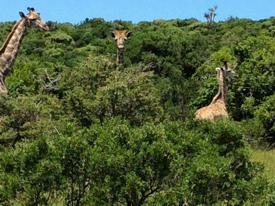 Sibuya Game Reserve & Tented Camp: A trio of inquisitive Giraffe