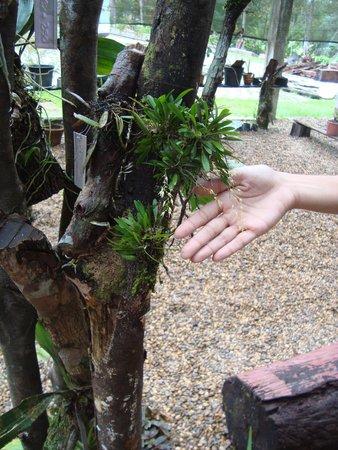 Manaus Botanical Garden - MUSA : Mini orquídea em viveiro