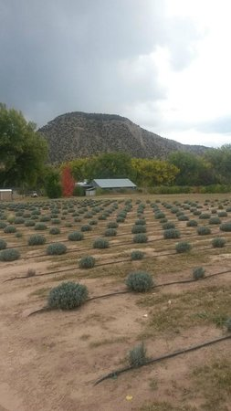Purple Adobe Lavender Farm: Fields of Lavender at Farm in Abiquiu