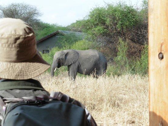 Kirurumu Tarangire Lodge : Elephants walked through our campsite