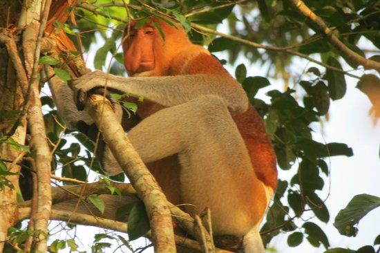 Sukau Greenview Bed & Breakfast: Avistamiento de mono narigudo, ¡de muy cerca!