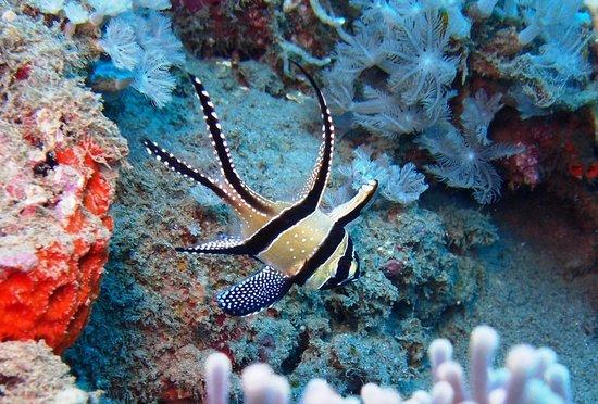 Odyssea Divers: バンガイカーディナル