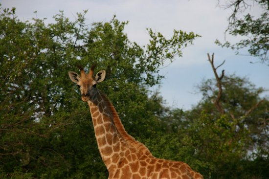 Zwartberg View Mountain Lodge: see a giraffe from your chalet