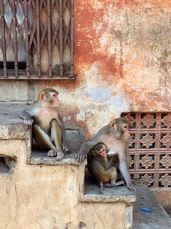 Monkey Temple (Galta Ji): Monkeys