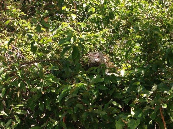 Francis Bay Trail : Iguana en los árboles !!!