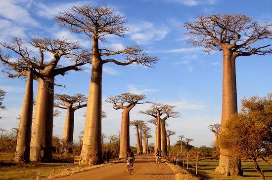 ‪أنتاناناريفو, مدغشقر: The Baobabs Alley - Morondava - Madagascar‬