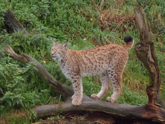 Lookout Lodge : Breakfast with the Lynx