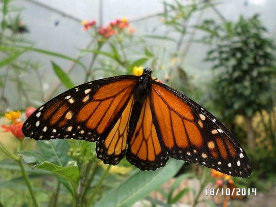 Atitlan Butterfly Sanctuary: Monarch
