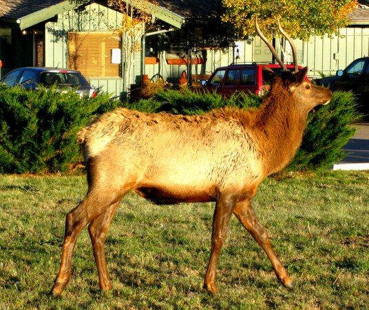 One of the Elk outside the Hunters Chop House