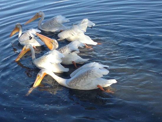 Snowy White Pelicans feeding in the morning in Lake Merritt