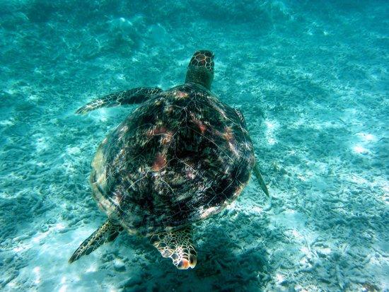 Kerama Islands: 念願のウミガメに出会えました!