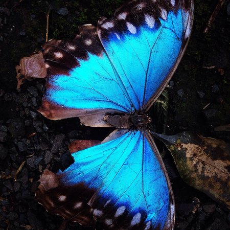 Panama Rainforest Discovery Center: These butterflies are all over the park.